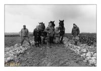 Arrachage en famille des betteraves fourragères, Baugnies, Belgique, 1986 - argentique